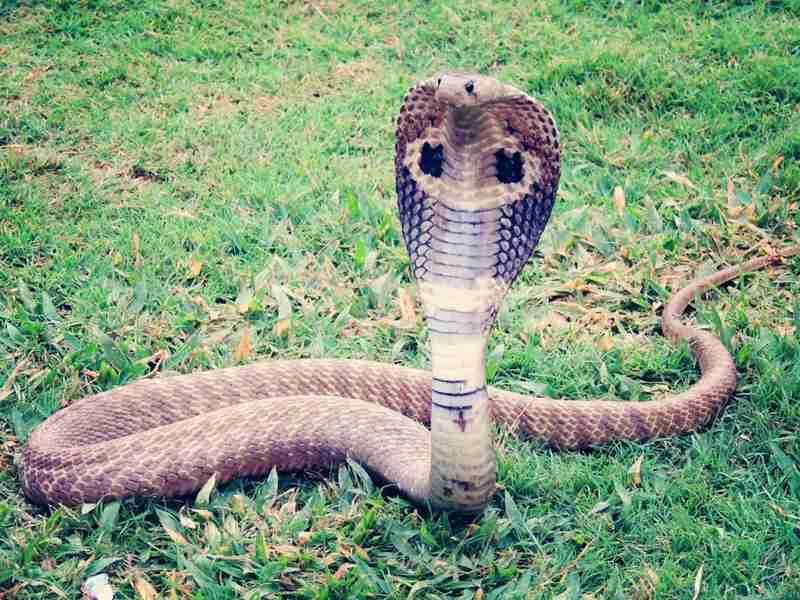 L'animal de pouvoir Cobra