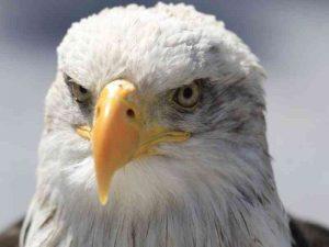 L'animal de pouvoir Aigle.