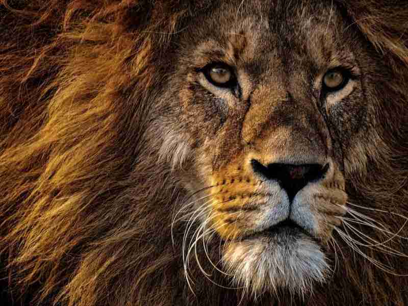 Animal totem : le lion