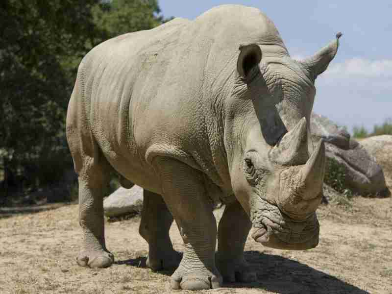 L'animal de pouvoir Rhinocéros