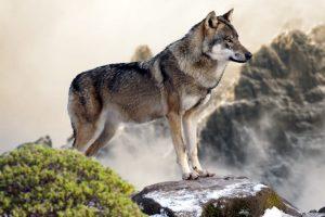 L'animal totem Loup
